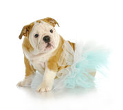 Cute puppy. English bulldog puppy wearing blue tutu on white background - 10 weeks old Stock Image