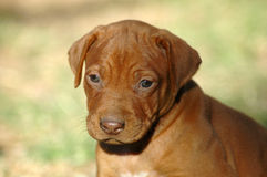 Cute puppy. A beautiful little South African Rhodesian Ridgeback hound puppy dog head portrait with cute and sad expression in the face watching other dogs in Stock Photos