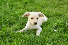 Cute puppy. Little cute puppy on green grass Royalty Free Stock Image
