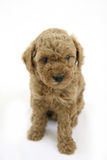 Cute puppy. I think i'm too cute puppy Stock Photography