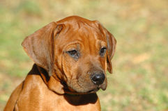 Cute puppy. A beautiful little Rhodesian Ridgeback hound puppy dog head portrait with sad expression and tears in the face crying and watching other dogs in the Royalty Free Stock Photography