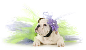 Cute puppy. English bulldog puppy laying down wearing purple and green tutu on white background Stock Photos