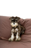 Cute Puppy. Sitting on a giant beanbag stock image