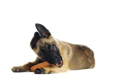 Cute puppy. Eating a tasty carrot royalty free stock photo