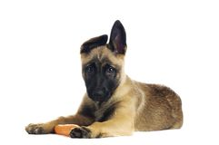 Cute puppy. Eating a tasty carrot royalty free stock photos