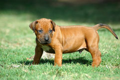 Cute Rhodesian Ridgeback puppy Royalty Free Stock Images