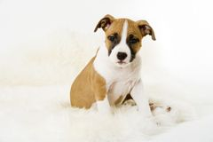 Cute puppy. Sitting puppy, staffordshire terrier royalty free stock photo