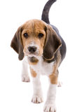 Cute puppy. Adorable young beagle puppy on white background Royalty Free Stock Photos