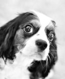 Cute puppy. (Black and White Royalty Free Stock Images