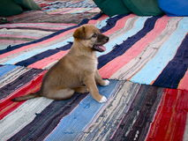 Cute Puppy. A cute, smiling puppy sitting on rugs Royalty Free Stock Images