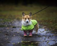 Free Cute Puppy A Red-haired Corgi Dog Stands For A Walk In Rubber Boots And A Raincoat On An Autumn Rainy Day In The Garden Stock Photo - 161077120