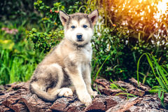 Cute puppy alaskan malamute run on grass garden Stock Images