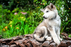 Cute puppy alaskan malamute run on grass garden Stock Photography