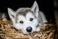 Cute puppy alaskan malamute run on grass garden Stock Image