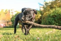 Cute puppy of the American Staffordshire Terrier. A portrait picture of a cute puppy of the American Staffordshire Terrier. He´s holding the branch in stock photo
