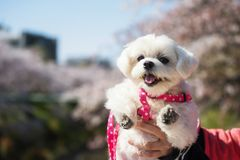 Free Cute Puppy And Cherry Blossom Royalty Free Stock Photography - 147623407