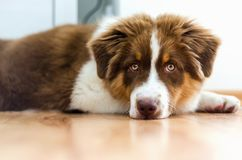 Cute puppy of australian shepherd. Lying on the floor royalty free stock photos