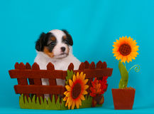 Cute puppy in autumn basket. Phalen puppy breeds. White and black dog and flowers. Beautiful and good animal. Dog on a blue background stock images