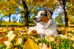Cute puppy in autumn park Royalty Free Stock Images
