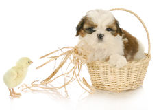 Cute puppy and baby chick Stock Images