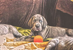 Cute puppy with a ball Stock Image