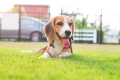 Cute Puppy Beagle stay down. And smile ready to play Royalty Free Stock Images