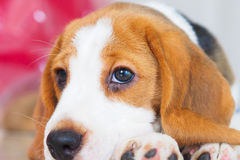 Cute Puppy Beagle stay down Stock Images