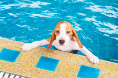 Cute Puppy Beagle swimming and holding rim pool Stock Photography