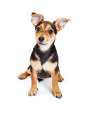 Cute Puppy With Big Ears Stock Image