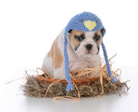 Cute puppy in a birds nest. Cute bulldog puppy sitting inside a birds nest on white background royalty free stock images