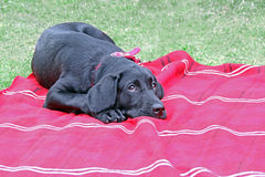 Cute puppy black labrador dog Stock Photo