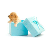 Cute puppy in a blue gift box Royalty Free Stock Photos