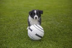 Puppy of border collie stock photography