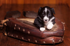 Cute puppy Border Collie leaned on the old collar and looking into the camera Stock Photography