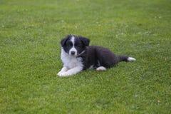 Puppy of border collie stock photos