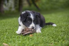 Puppy of border collie stock images