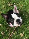 Cute Puppy, Boston Terrier royalty free stock image
