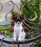 Cute puppy breed Papillon posing on a metal bench. Beautiful, little dog sitting in the Park outdoors. royalty free stock photography