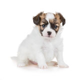 Cute puppy of breed papillon Royalty Free Stock Image