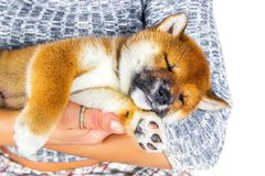 Cute Puppy breed Shiba inu Royalty Free Stock Photo