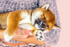 Cute Puppy breed Shiba inu Royalty Free Stock Images