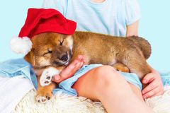Cute Puppy breed Shiba inu Stock Photography