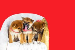 Cute Puppy breed Shiba inu Royalty Free Stock Image