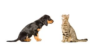 Cute puppy breed Slovakian Hound and curious cat Scottish Straight sitting together. Isolated on white background stock images