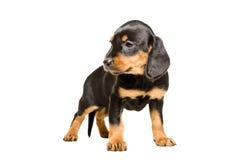 Cute puppy breed Slovakian Hound Royalty Free Stock Image