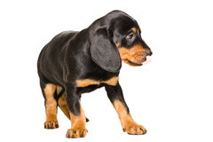 Cute puppy breed Slovakian Hound licking his nose Royalty Free Stock Photography