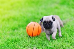 Cute puppy brown Pug with ball. Cute puppy brown Pug playing with ball in garden royalty free stock images