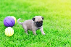 Cute puppy brown Pug with ball. Cute puppy brown Pug playing with ball in garden stock image