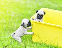 Cute puppy brown Pugs. Playing in yellow bucket royalty free stock image