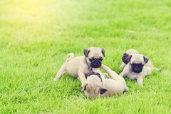 Cute puppy brown Pugs in garden. Cute puppy brown Pugs playing together in garden royalty free stock images